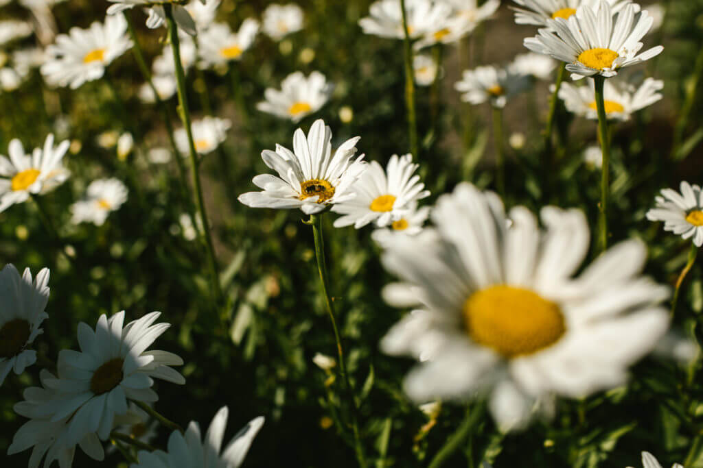 Closeup of garden daisies.