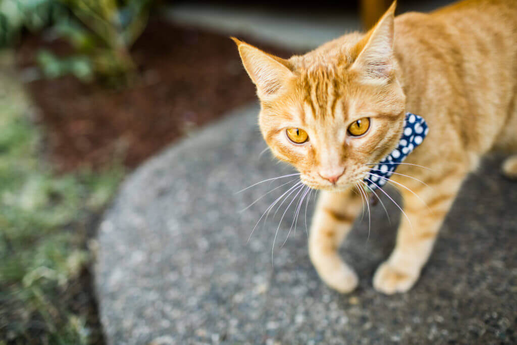 yellow cat with blue polkadot bowtie.