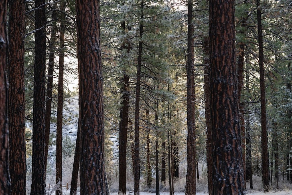 Snowy morning among pine trees.